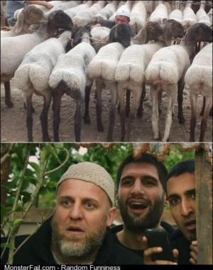 Sand rats at a shearing