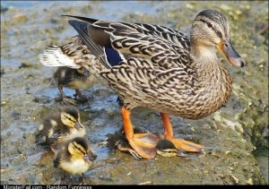 Ducks are great mothers