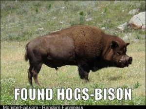 The more elusive Hogs-Bison