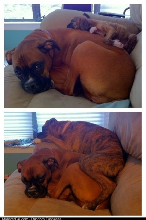 Our boxer puppy laying on our adult boxer 3 months apart