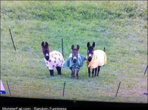 A few donkeys in coats watching the Tour de France