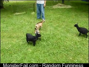 Ninja Goats