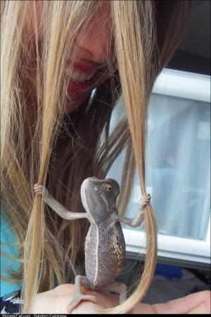 Gay hairdresser chameleon will NOT tolerate split ends