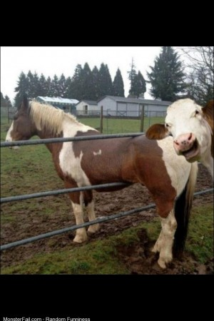 Cow This an idiot