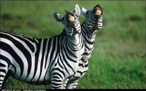 Zebras smile big for the camera