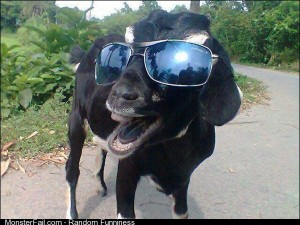 Goat Ready for a Good Time