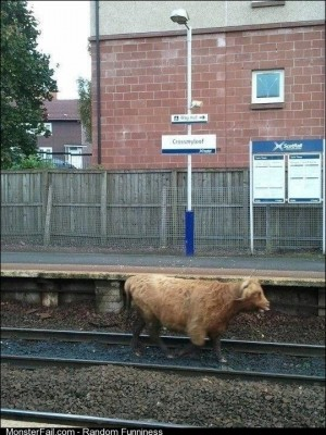 Welcome to Scotland where the Highland cows give a fuck