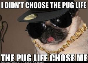Funny Pics The Pug Life