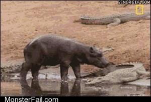 The bravest hippo alive