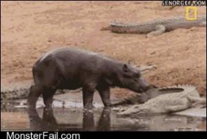 The bravest hippo alive