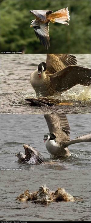 Falcon Attack Fail