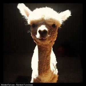 So adorable humor alpaca animals cute adorable