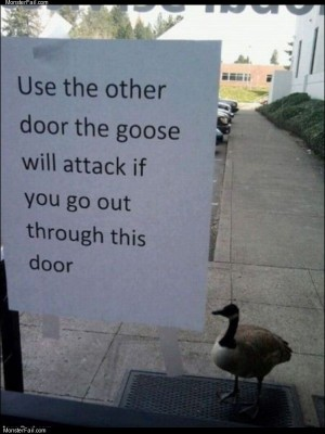 The attack goose
