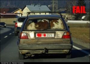 Cows In The Trunk FAIL