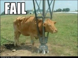 Cow Curiosity FAIL