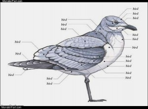 Bird anatomy