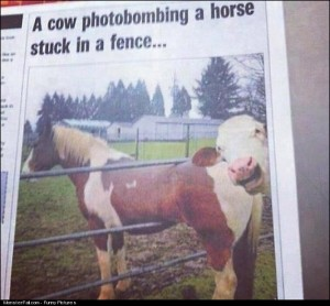 Horse Fail  Cow Win