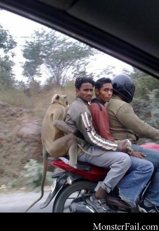 Monkeys in India.
