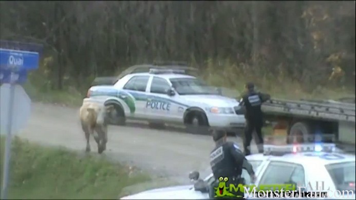 Should these cops have shot the cow?  FAIL?