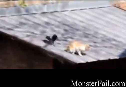 Epic Troll: Crow starts fight between two cats then sits back and watches.  What an asshole.