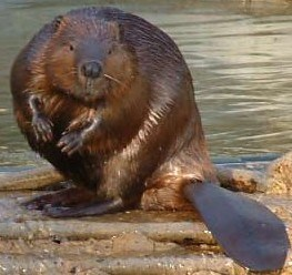 Man killed to death by a beaver.